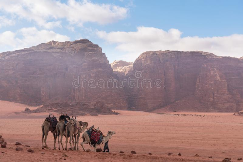 Wadi Rum desert landscape in Jordan with camels chilling in the morning royalty free stock photos