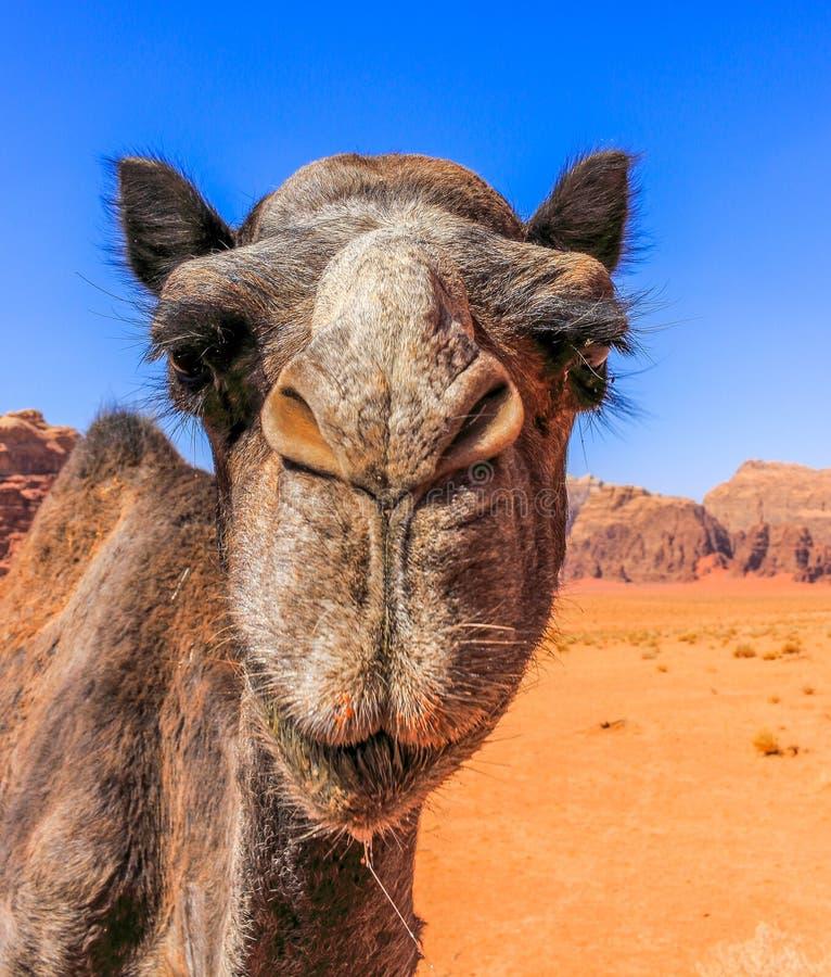 Jordan Wadi Rum Camels, Desert Tourist Location. Wadi Rum Jordan, Camping, Camels, Site Seeing, Desert, 4x4 Driving, tourist location royalty free stock image