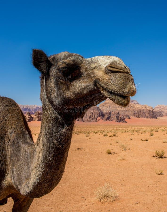 Jordan Wadi Rum Camels, Desert Tourist Location. Wadi Rum Jordan, Camping, Camels, Site Seeing, Desert, 4x4 Driving, tourist location stock images