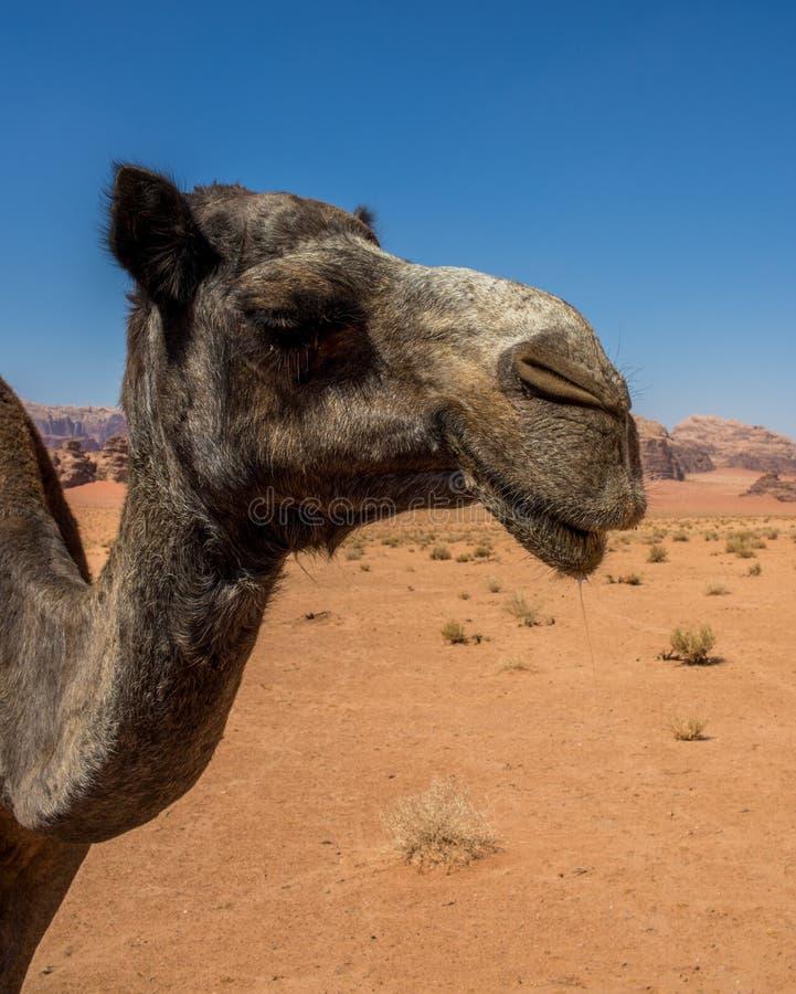 Jordan Wadi Rum Camels, Desert Tourist Location. Wadi Rum Jordan, Camping, Camels, Site Seeing, Desert, 4x4 Driving, tourist location royalty free stock images