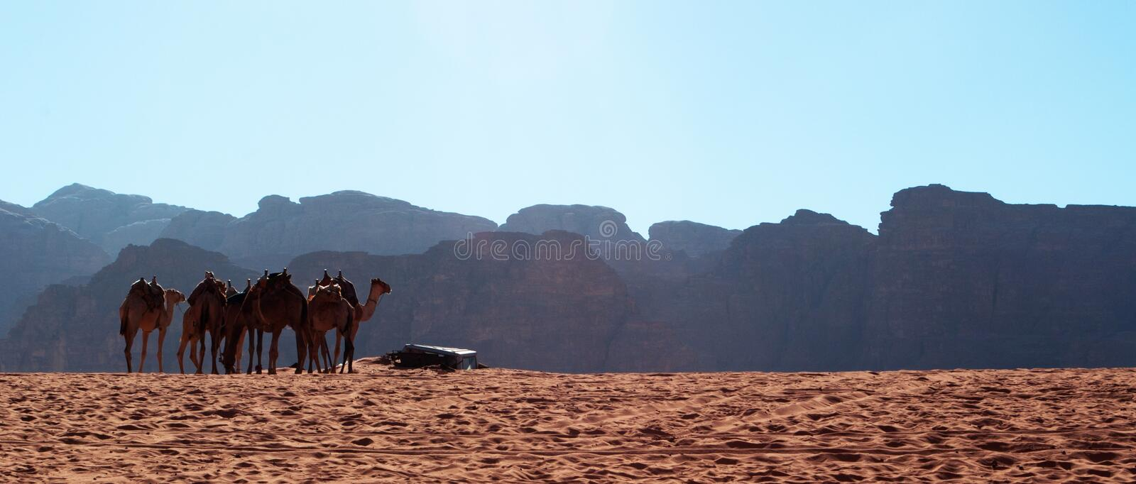 Wadi Rum, camel, camels, dirt road, the Valley of the Moon, Jordan, Middle East, desert, landscape, nature, climate change royalty free stock photo