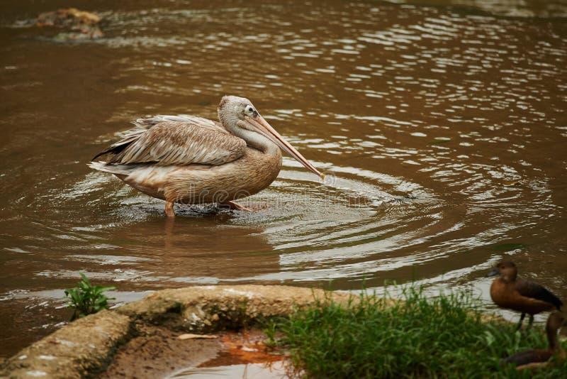 Wading птица с 2 цыпленоками в переднем плане стоковое изображение