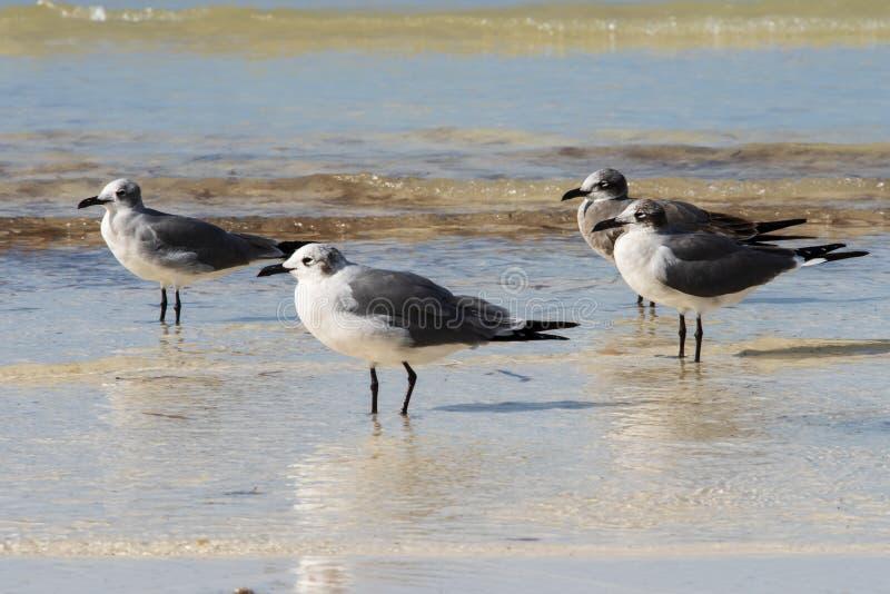 Wading чайки стоковые изображения