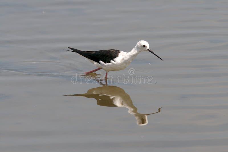 Wading Bird Royalty Free Stock Photography