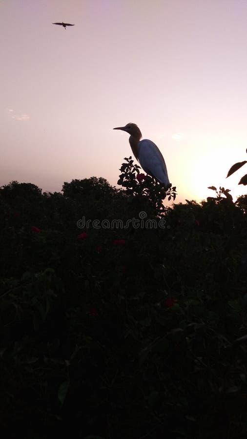Wading bird on rose plants. Wading bird stay on rose plant royalty free stock photo