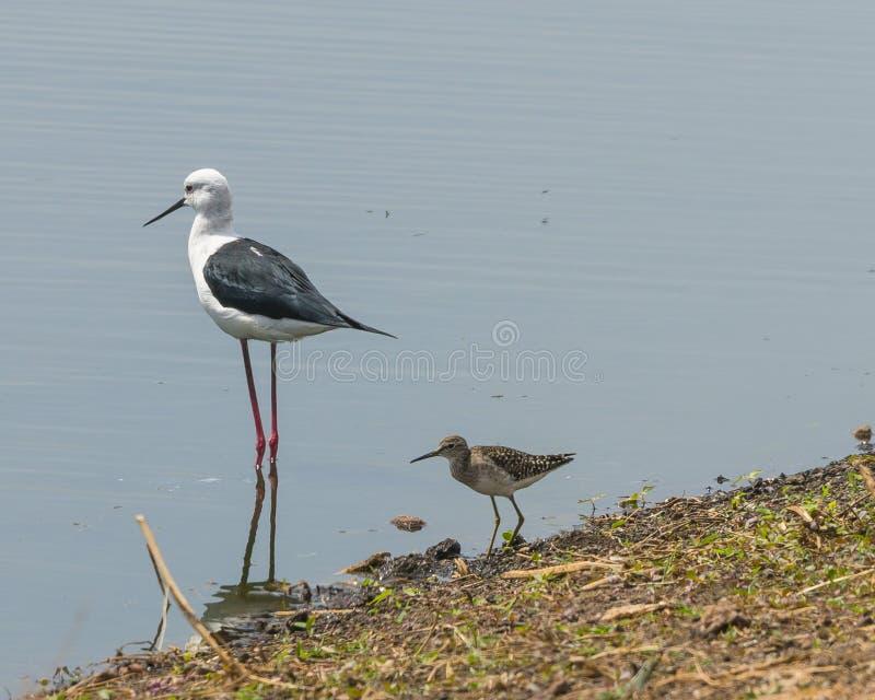 Wading birds stock photo