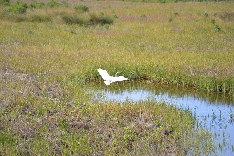Great Egret lands in the shallow waters of the island marsh. Wading birds find plenty of fish on their hunt in the Egans Creek Greenway waterway royalty free stock photos