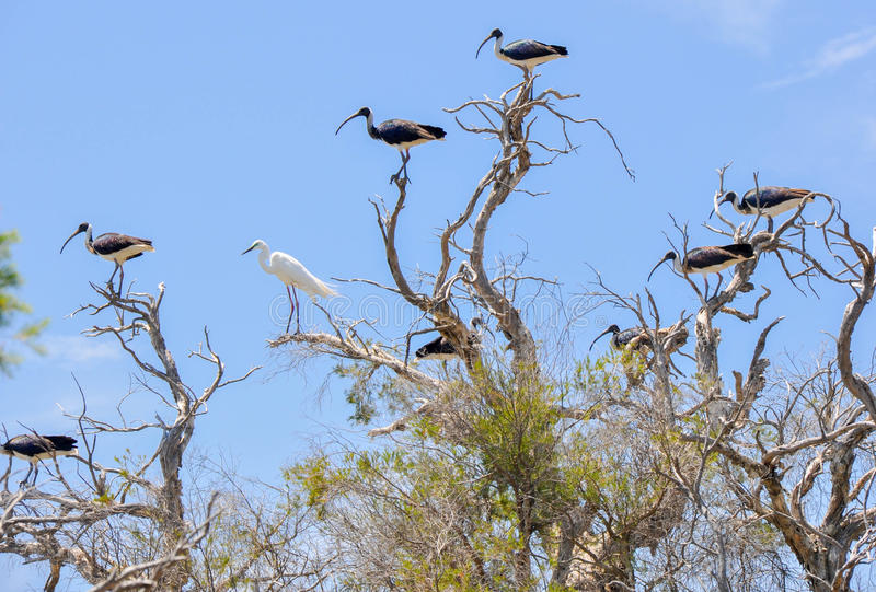 Wading Birds: Inclusion. Flock of Straw-necked Ibises in the tree tops with one lone White Heron against a blue sky background royalty free stock image