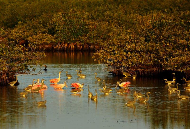 Wading birds at the Merritt Island National Wildlife Refuge. A large group of mixed wading birds at the Merritt Island National Wildlife Refuge in Florida stock image