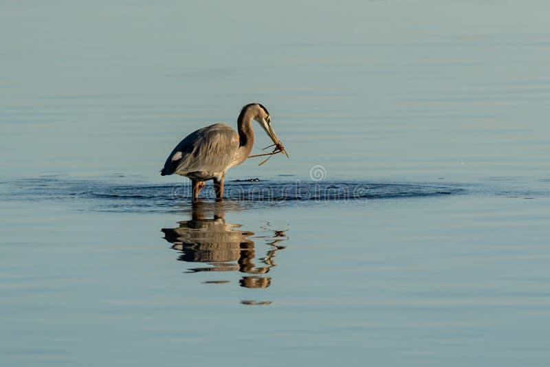 A wading Blue Herron fishing for food. At Big Lagoon State Park in Pensacola Florida royalty free stock photos