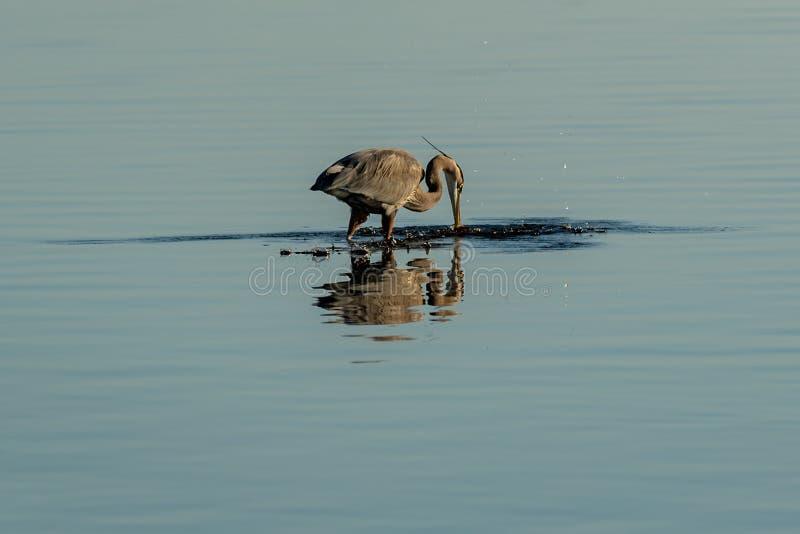 A wading Blue Herron fishing for food. At Big Lagoon State Park in Pensacola Florida royalty free stock image