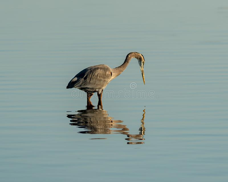 A wading Blue Herron fishing for food. At Big Lagoon State Park in Pensacola Florida stock photography