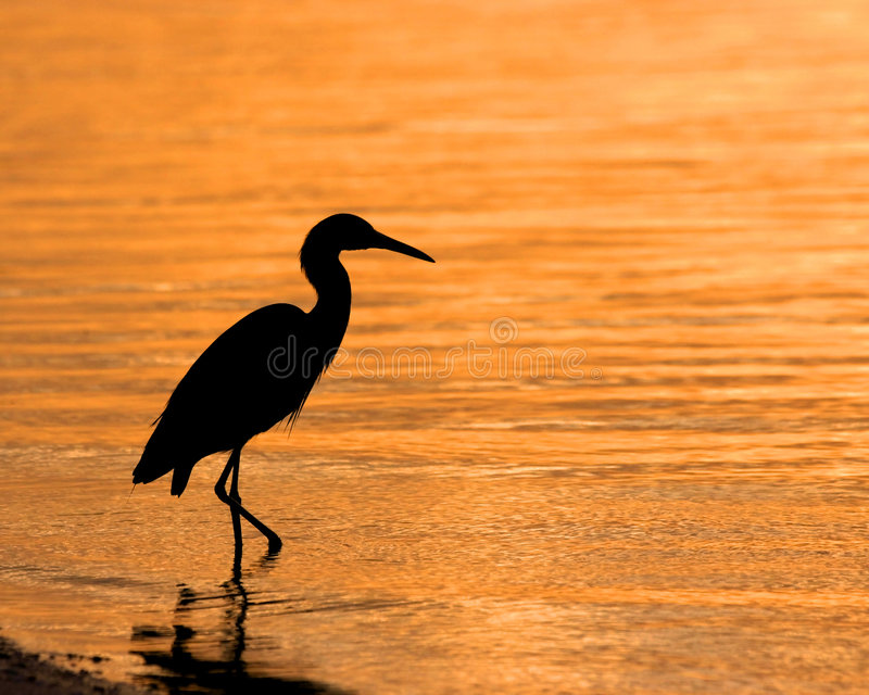 Wading Heron. Heron wading along the shoreline of Lemon Bay in southwestern Florida (USA royalty free stock photos