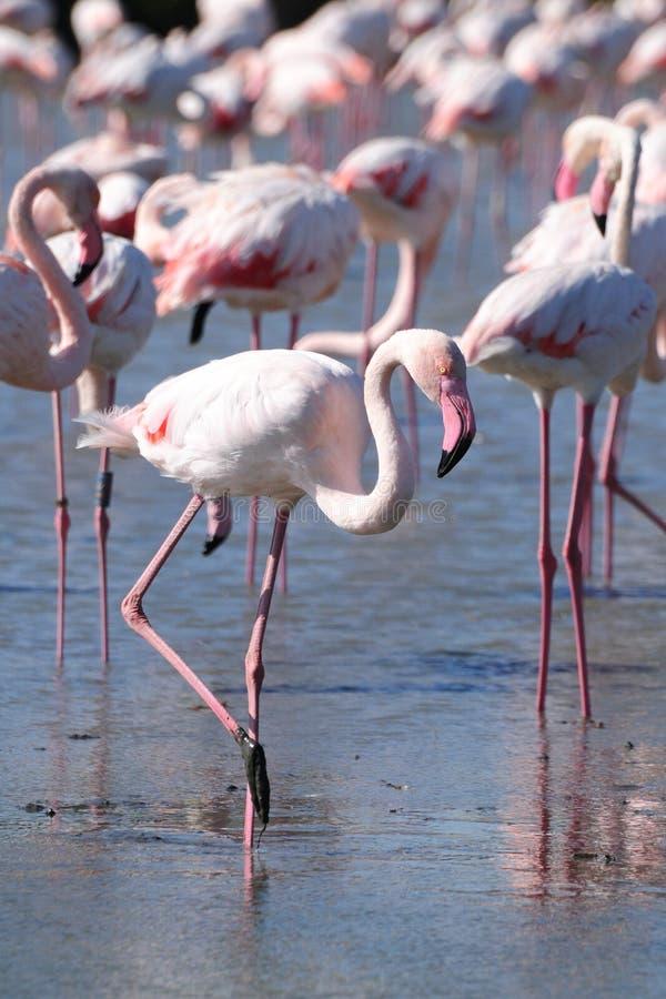 Wading Pink Flamingo stock image