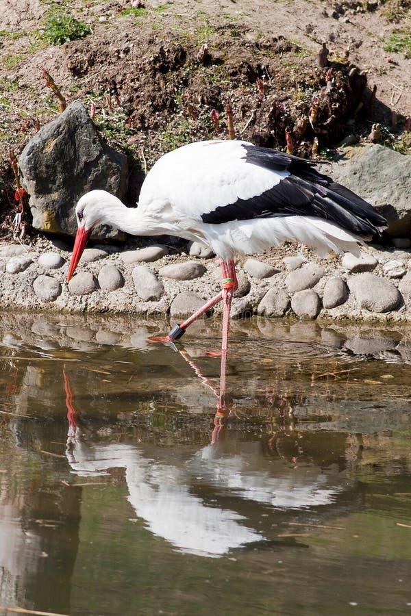 Download Wading stork stock image. Image of head, bird, black - 29680493