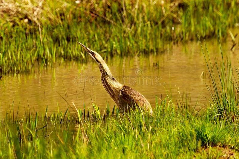 Wading. A very tolerant American Bittern wading in a water filled ditch at the Bald Knob Wildlife Refuge in Bald Knob, Arkansas 2017 stock images