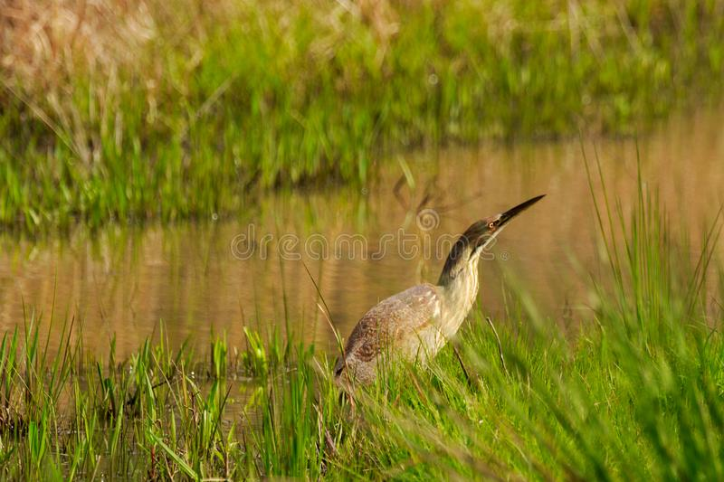 Wading. A very tolerant American Bittern wading in a water filled ditch at the Bald Knob Wildlife Refuge in Bald Knob, Arkansas 2017 royalty free stock photos