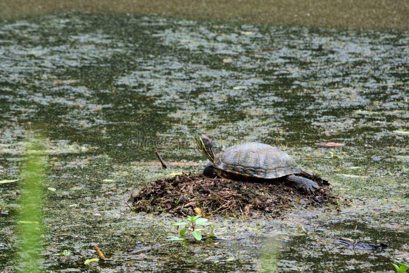 Waer Turtle royalty free stock photography