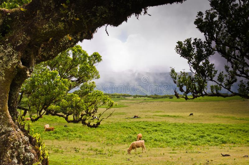 Wafts of mist are laying upon the highland of Madeira and generate a spooky athmosphere. Cattle is grasing in the meadow stock image