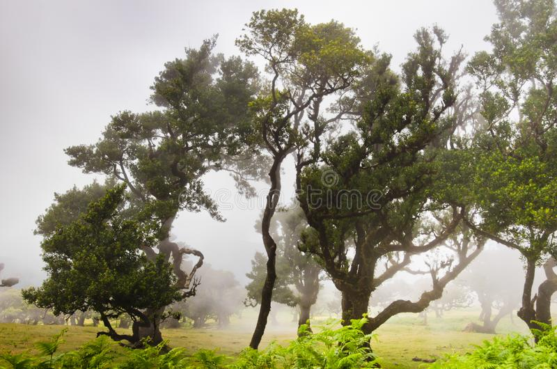 Wafts of mist are laying upon the highland of Madeira and generate a spooky athmosphere. Many bay Trees ar in front of the picture royalty free stock photo