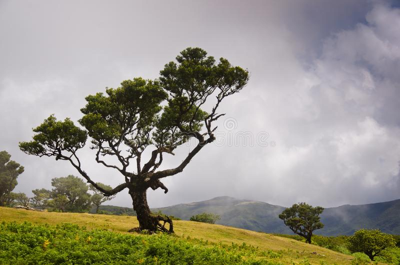 Wafts of mist are laying upon the highland of Madeira and generate a spooky athmosphere. A single Bay tree ist in front of the foto stock image