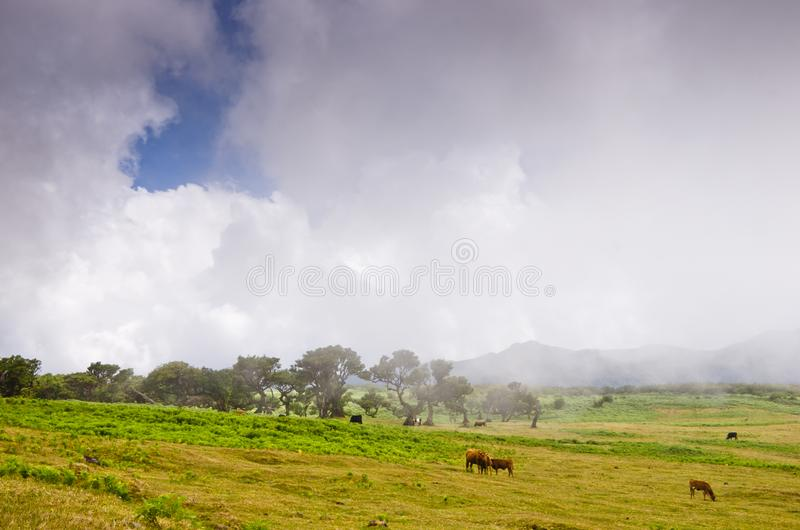 Wafts of mist are laying upon the highland of Madeira and generate a spooky athmosphere. Some cows are grasing in the fields royalty free stock photography