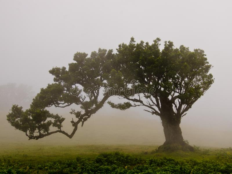 Wafts of mist are laying upon the highland of Madeira with a single large tree and generate a spooky atmospere. Wafts of mist are laying upon the highland of stock image