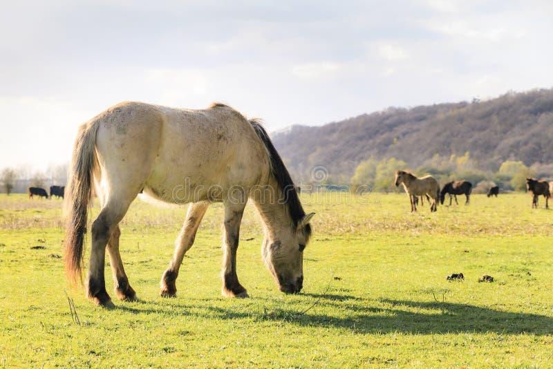 Wageningen Koniks. Konik horses (Equus ferus caballus) in national park de Blauwe Kamer in Wageningen, the Netherlands stock photos