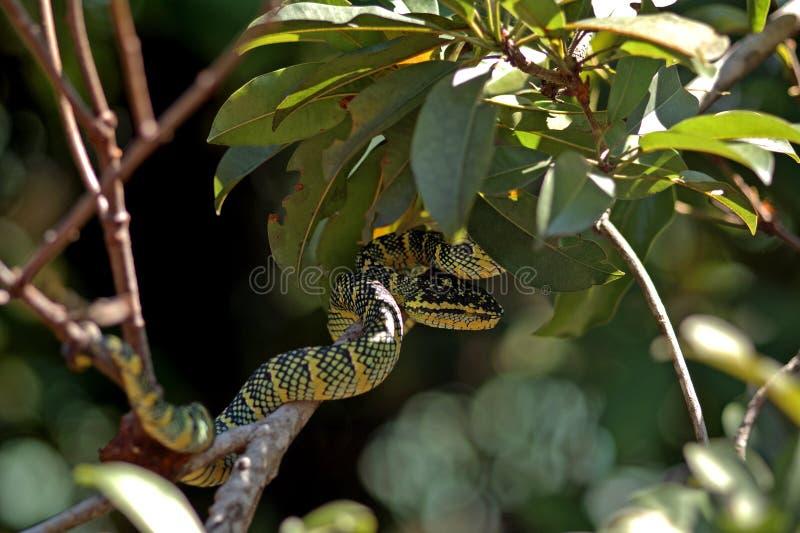 Wagler-pitviper im Schlangentempel, Penang, Malaysia stockfotos