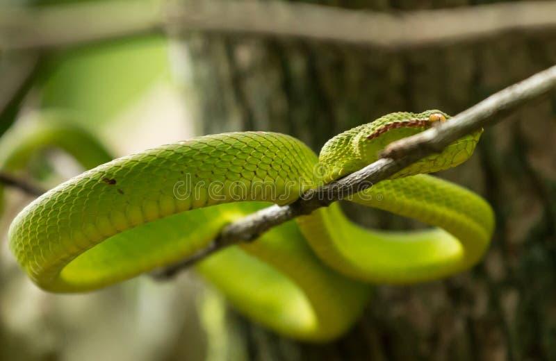 Wagler Pitviper wąż w Bako parku narodowym, Borneo (Tropidolaemus wagleri) obrazy royalty free