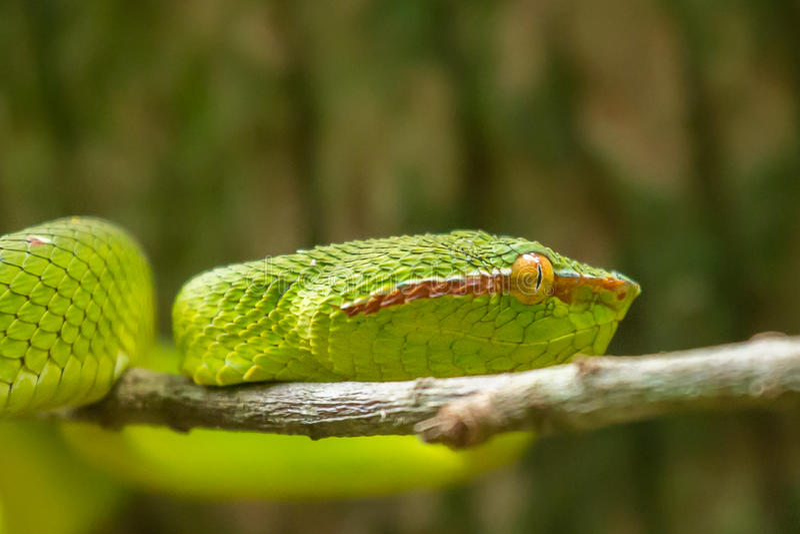 Wagler Pitviper wąż w Bako parku narodowym, Borneo (Tropidolaemus wagleri) zdjęcia royalty free