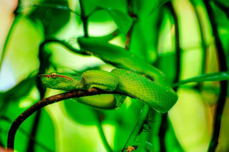 Wagler ` s坑蛇蝎蛇-在一棵美洲红树的分支的Tropidolaemus wagleri的图象在Sabbah婆罗洲, M热带雨林里  免版税库存照片
