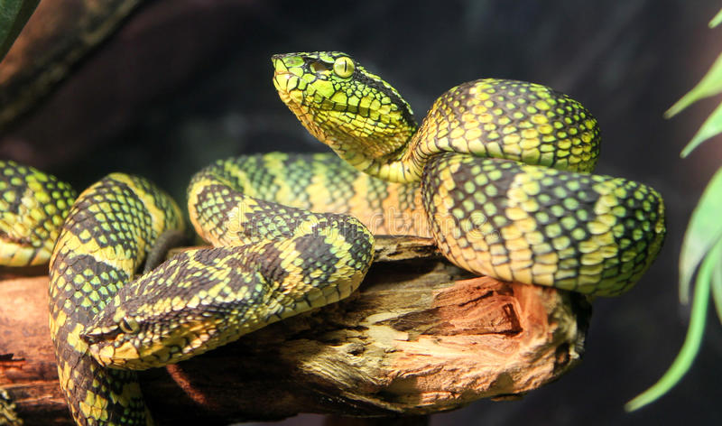 Wagler`s palm viper snake royalty free stock photos