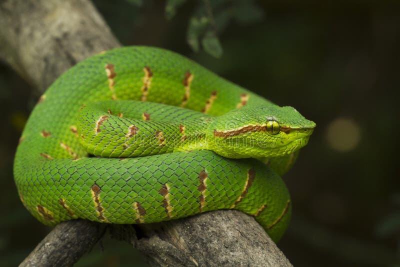Wagleri de Pit Viper Snake - de Tropidolaemus de Wagler sur la branche d'arbre photographie stock