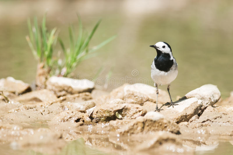 Download Wagtail Royalty Free Stock Image - Image: 24651476