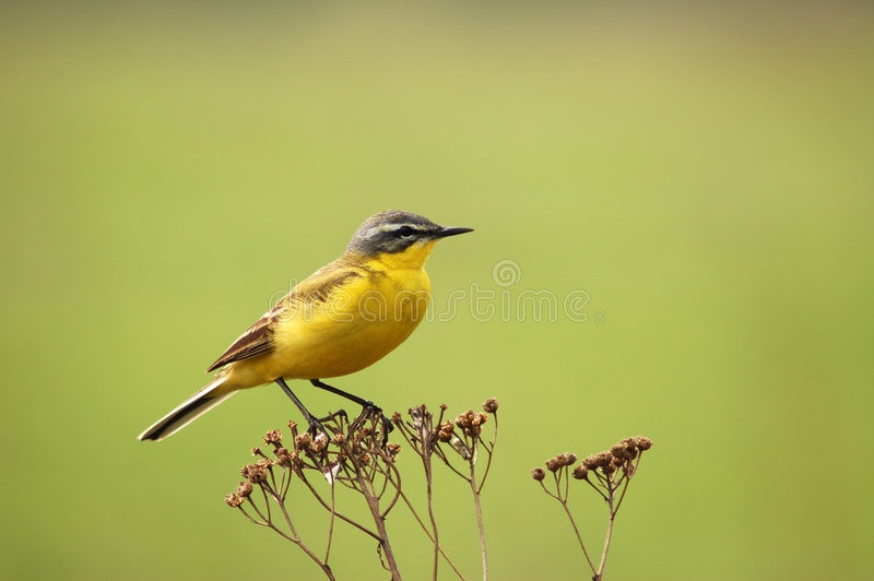 Wagtail royalty free stock images