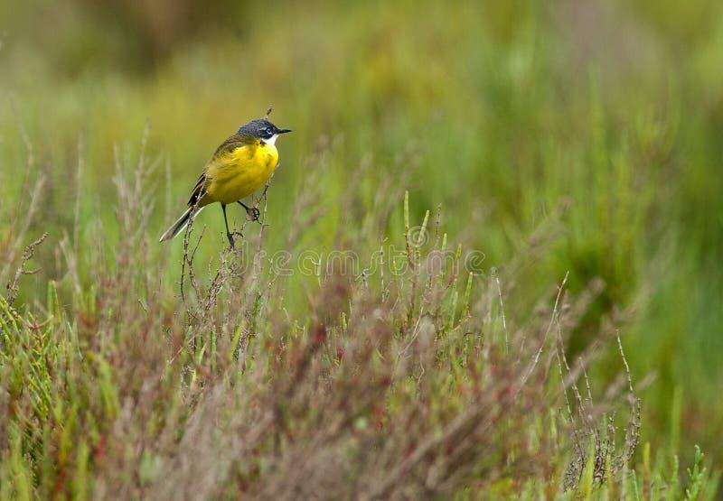 Wagtail amarillo encaramado en arbusto imagen de archivo libre de regalías