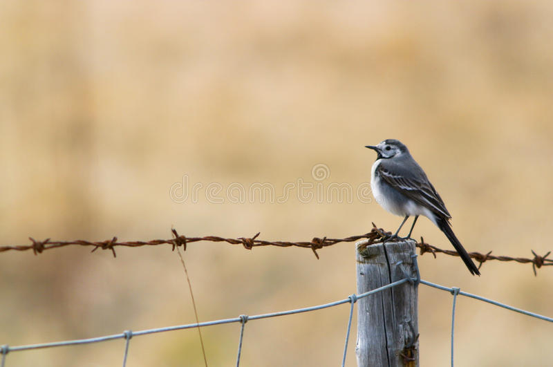 Wagtail on barbed wire stock images
