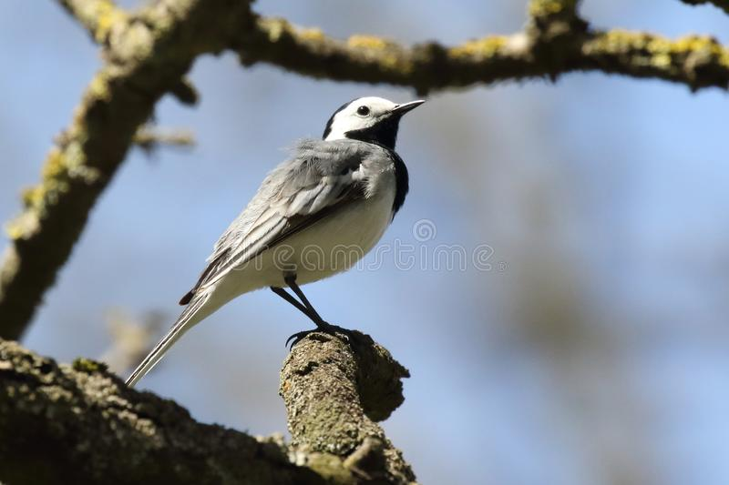 Wagtail bird sits on tree branch ukraine 2017 stock image