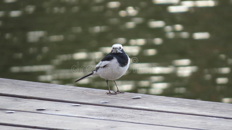 Wagtail blanc images stock