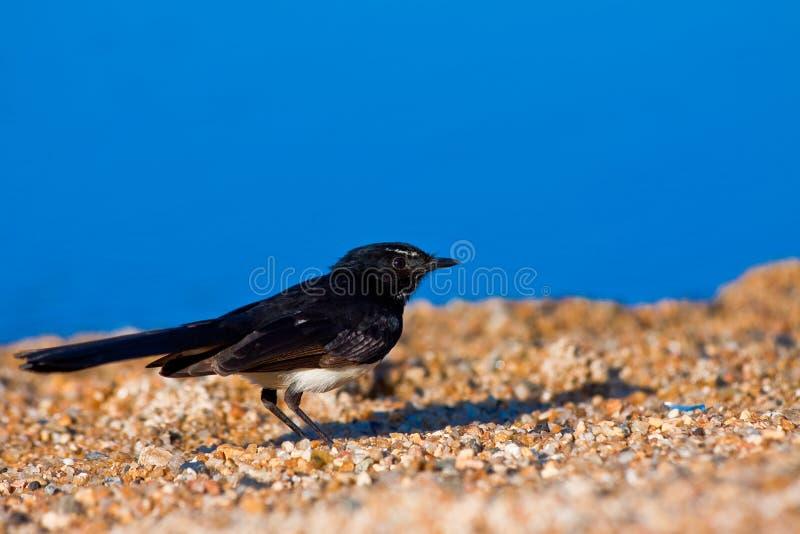 Wagtail de Willie en la playa foto de archivo libre de regalías
