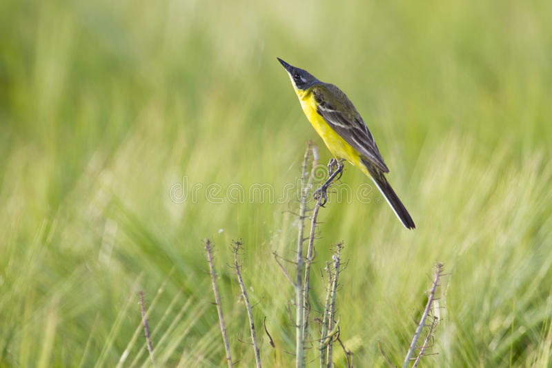 Download Wagtail giallo fotografia stock. Immagine di wagtail - 55364098