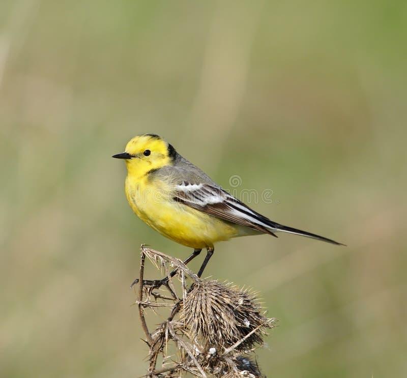 Wagtail giallo. fotografia stock