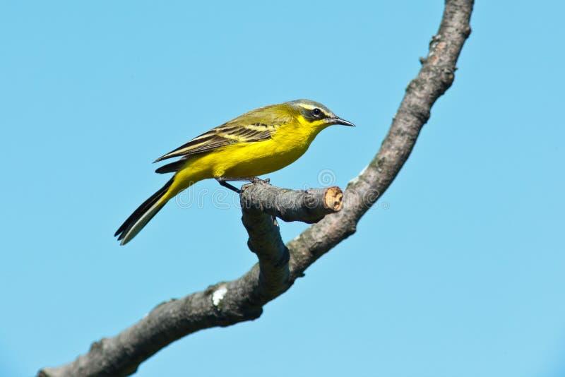Wagtail giallo, flava del Motacilla immagini stock libere da diritti