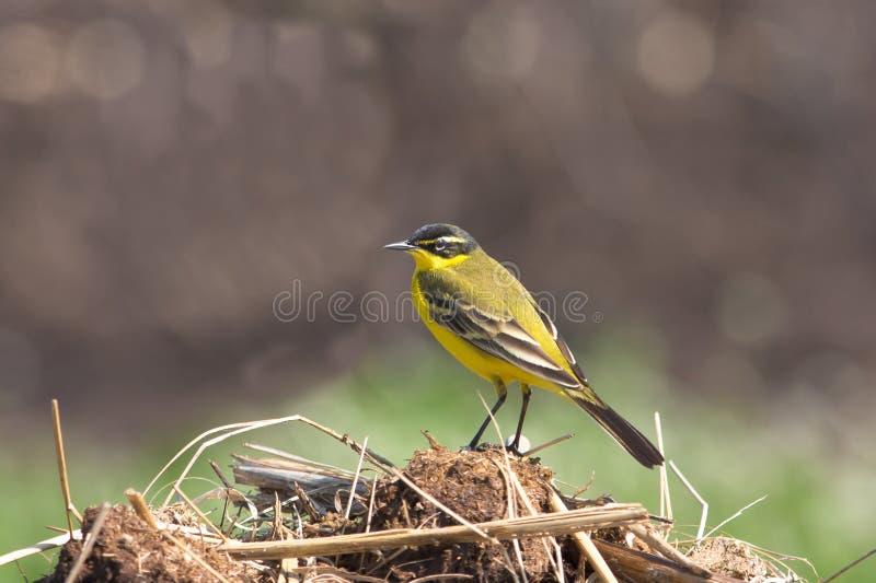 Wagtail giallo (flava del Motacilla) fotografia stock libera da diritti