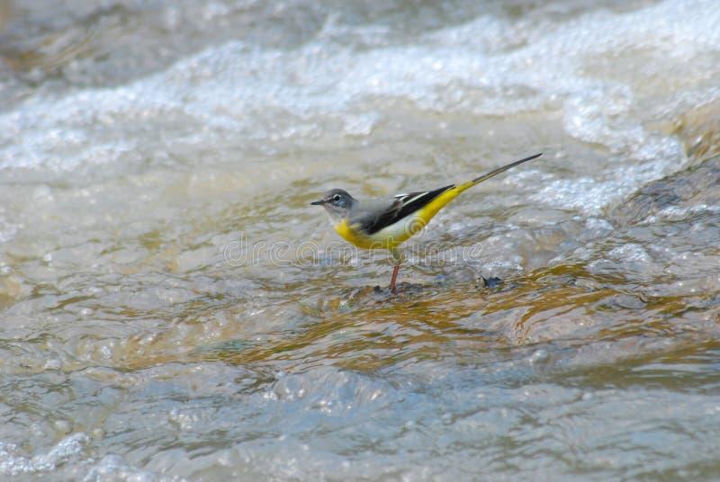 Wagtail gris en el río fotografía de archivo