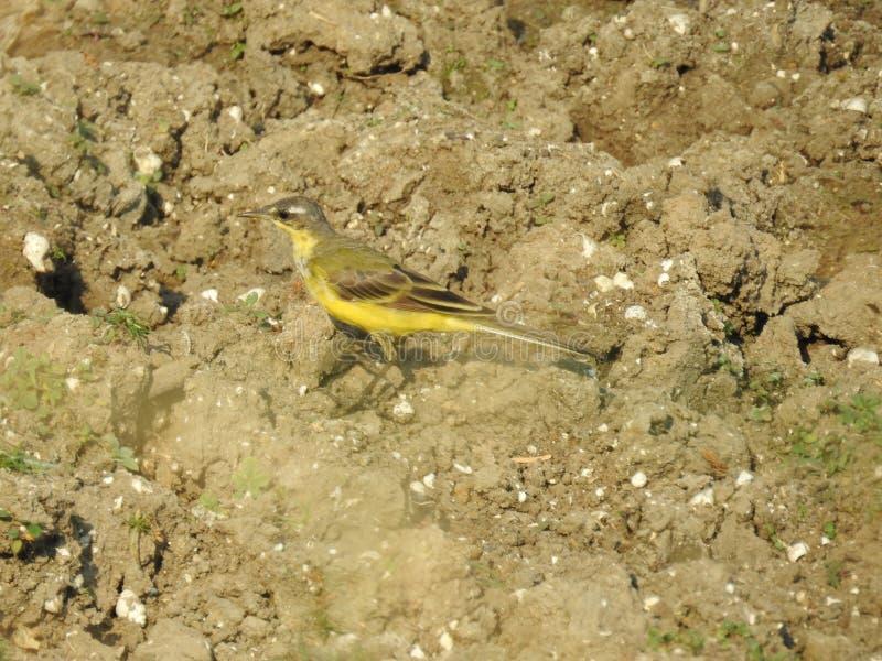 Wagtail jaune image libre de droits