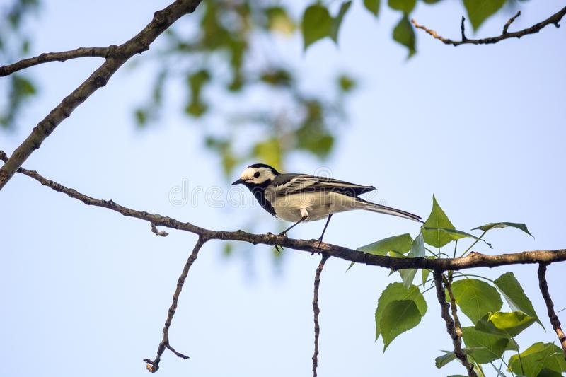 Wagtail sitting Motacilla alba on tree branch in the spring stock photos