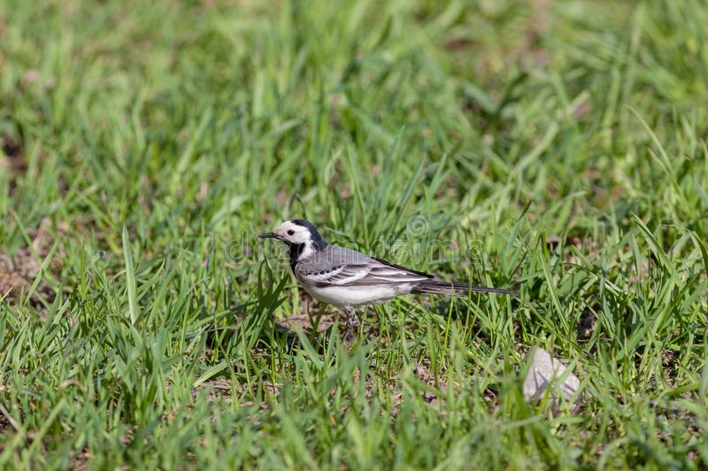 Wagtail in a spring grass stock photos