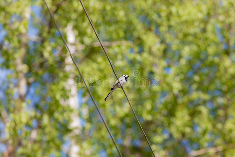 Wagtail in spring stock images